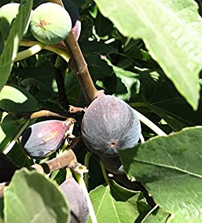 Black Mission Fig Tree Shipped in Soil, Five Gallon Container