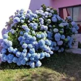 Fnho Semillas de Flores Multicolores,Maceta para Plantas de jardín/Interiores,Hortensia en Maceta, balcón Interior Flor de jardín-Color Mezclado_500 Granos
