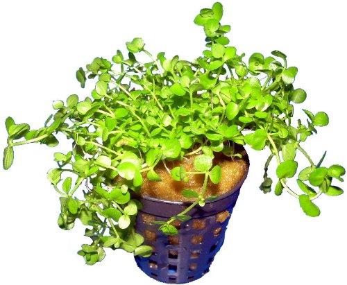 Aquariumpflanzen Micranthemum umbrosum - Perlenkraut, Wasserpflanzen