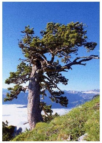 35 graines-CEDRUS DEODARA Saflax-BONSAI-Himalaya Cèdre