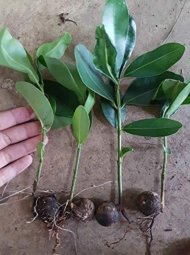SANHOC Neu!! 5 Seeding Calophyllum inophyllum L. alexandrinischen Lorbeer, Schöne-Blatt