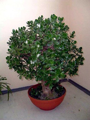 "Jade Plant - Crassula ovata - Easy to Grow - 4"" Pot"