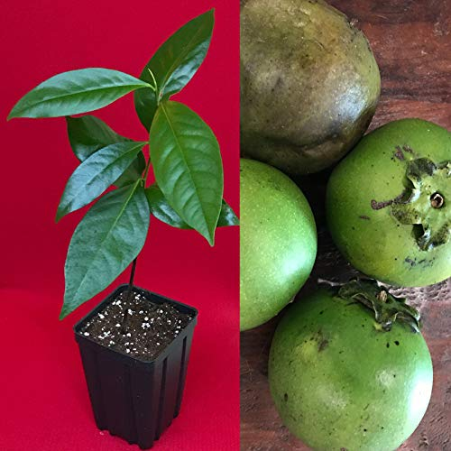 "Ferry Schwarzer Sapote Diospyros Nigra Schokoladenpudding Pflanze Tropic Obstbaum 10-13\"""