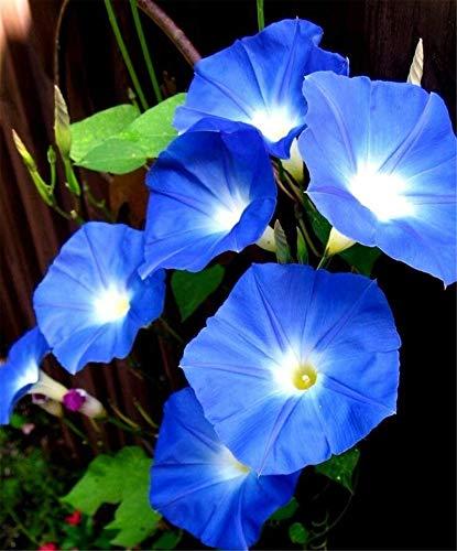 Blue Color Morning Glory Seeds 100+ Bonsai Big Petunia Beautiful Garden Flowers Seeds