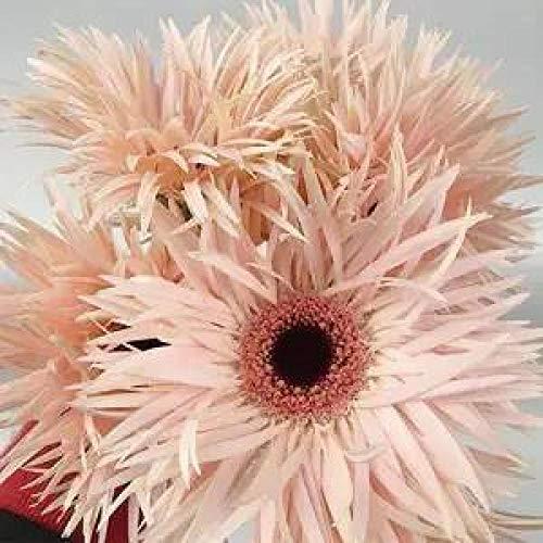 Fuduoduo Semillas EcolóGicas AromáTicas,Planta fácil de Vivir Semillas de crisantemo africano-H200 pcs,Perenne Resistente Semillas