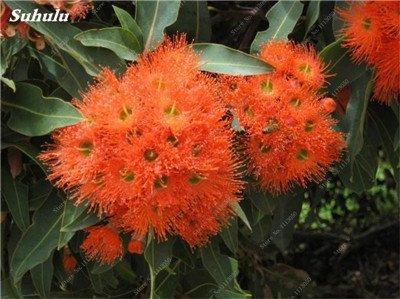 100 PC/Beutel seltene Regenbogen-Eukalyptus-Blüte Samen, Tropischer Baum Samen, Eukalyptus-Anlage für Hausgarten Zier Bonsai 15