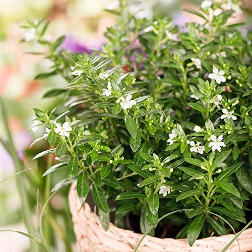 Pflanzen Kölle Japanische Scheinmyrthe, 6er-Set, Cuphea hyssopifolia, weiß, Topf 11 cm Ø
