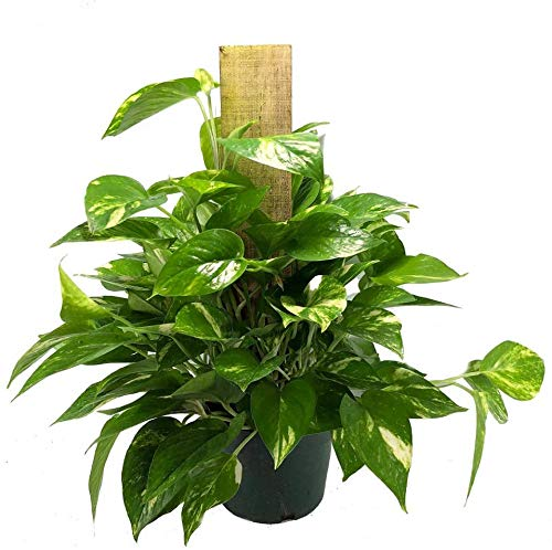 AMERICAN PLANT EXCHANGE Golden Pothos Totem Easy Care Live Plant, 6