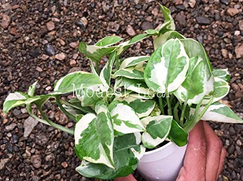 Easy To Grow White Variegated Leaves Pothos Njoy 4 Pot Epipremnum Aureum Njoy Pothos Beautiful Leaves Very Easy To Grow Indoor House Plants Buy Online In Bosnia And Herzegovina At Bosnia Desertcart Com Productid