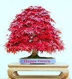 Fresh Seeds - RED Japanese Maple - 10 Seeds - Acer palmatum atropurpureum - Bonsai Seeds