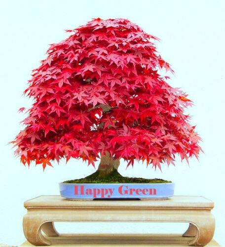 Red Japanese Maple - 10 Seeds - Acer Palmatum Atropurpureum - Bonsai Seeds