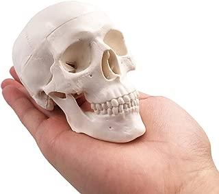 Mini Skull Model - Small Size Human Medical Anatomical Adult Head Bone for Education