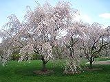 Dwarf Weeping Cherry Tree- 6-12' Tall in 3' Pot- Prunus x Yeodensis Shidare Yoshino Japanese Bonsai Tree