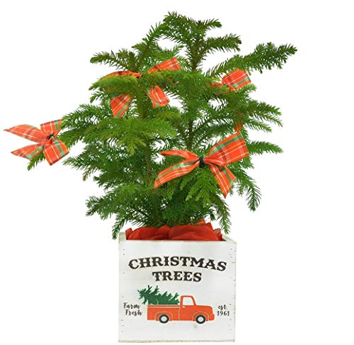 Costa Farms Live Tree Farmhouse Décor, 10-Inches...