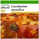 SAFLAX - Árbol del ámbar - 100 semillas - Con sustrato estéril para cultivo - Liquidamber styraciflua