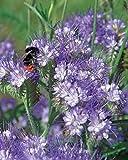Risitar Graines - Rare Phacélie pour papillons/abeilles/insectes, fleurs très parfumées Grainé fleur jardin plante vivace résistante au froid