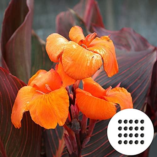 Benoon Canna Seeds, 20Pcs / Bag Canna Seeds Plantas De Semillero De Plantas Florales Perennes Ornamentales Naturales Perennes Para Exteriores naranja