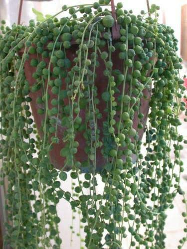 Live Plant - String of Pearls 5 Cuttings Succulent Cactus Senecio Easy to Root