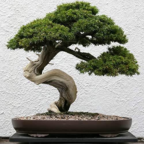 TENGGO Egrow 20Pcs/Pack Juniperus Semillas Follaje Fresco Planta Bonsai en Maceta Boda Party Mall Decoración de Escritorio