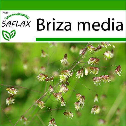 SAFLAX - Gräser-Bambus-Herz-Zittergras/Jungfernhaar - 75 Samen - Mit keimfreiem Anzuchtsubstrat - Briza media