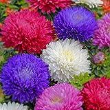 Keland Garten - Wucherblume Samen schnellwachsend Chrysanthemen Blumensamen einjährig Blütenmeer in Ihrem Garten/Balkon/Terasse/Kasten (5)