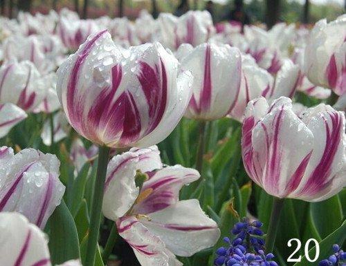 200 graines de bonsaï de PC, de haute qualité des graines de tulipes de la plante, la sélection des variétés de semences de 25 fleurs