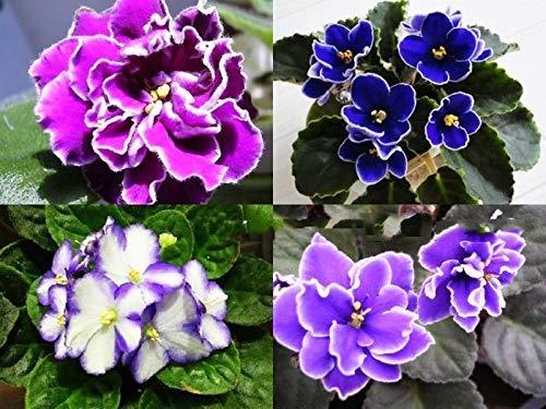 Semillas de Matthiola Incana 30+ Mezcla de colores Semillas de flores de violeta Cornuta (Matthiola incana) para el jardín de su casa Jardín al aire libre Plantación agrícola