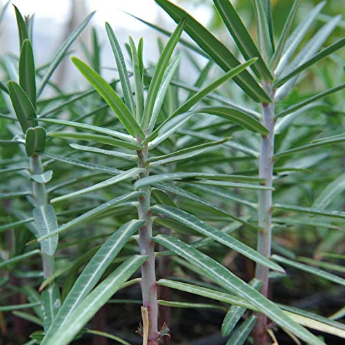 6 x Euphorbia Lathyris - Kreuzblättrige Wolfsmilch Kleincontainer 9cm x 9cm