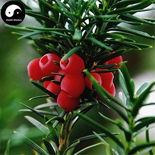Comprar semillas de Taxus chinensis árbol 120pcs planta china árbol del tejo Hong Dou Shan