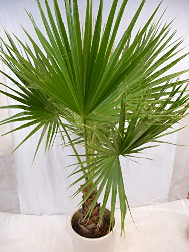 [Palmenlager] Washingtonia robusta 200 cm/Stamm 40/50 cm - Petticoat Palme