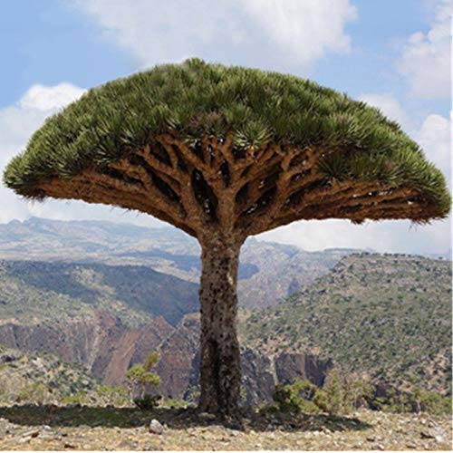 10pcs Kanarischer Drachenbaum Pflanzen Samen Drachenbaum Saatgut Zimmerpflanzen hg0015911 leicht an zu züchten.