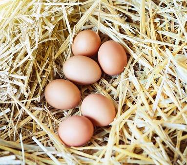 Ayam Cemani Fertile Hatching Eggs