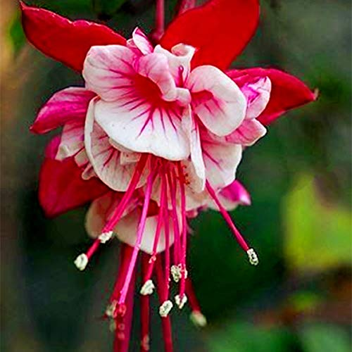 Hot Sale!!! 50pcs / bag Red White Fuchsias Seeds Flower Seed Garden Plants Ornamental Flowers DIY Home Garden