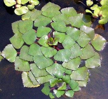 WFW wasserflora Wassernuss - Wasserkastanie/Trapa natans