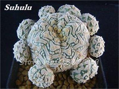 100 Pcs mixte vrai Cactus Seeds, Mini Cactus, Figuier, Graines Bonsai fleurs, vivaces herbes Plante en pot pour jardin 3