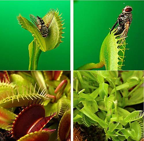 Samen Shopp Dionaea Samen Muscipula Riesen Clip Venusfliegenfalle Seeds 10 Stück Insectivorous Seed Gartenpflanze Blumensamen
