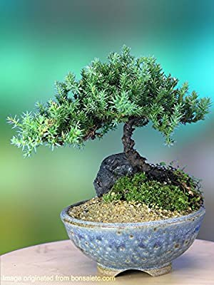 Authentic Juniper Bonsai Tree in a Handmade Japanese Container