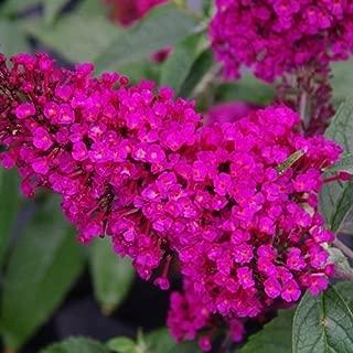 butterfly bush buzz hot raspberry