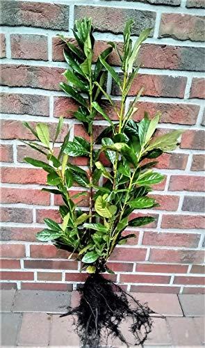 20 Kirschlorbeer Pflanzen, Prunus laurocerasus Novita, kräftige Heckenpflanzen, Höhe: 60-70 cm