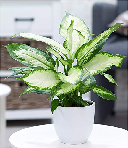 BALDUR Garten Dieffenbachie Camilla, 1 Pflanze Luftreinigende Zimmerpflanze Grünpflanze
