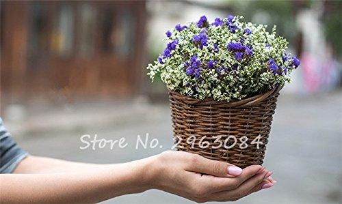 Multi Color Herbe Saint Valentin Graine jardin vivace Fleur Bonsai graines Plantes Blooming intérieur Plantes exotiques pots de fleurs 50Pcs 15