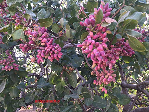 ScoutSeed 250 semillas: PISTACIA VERA GENUINE Antep Turco Pistachos NATURAL EDIBLE Semillas frescas