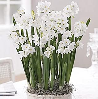 20 Ziva Paperwhites - Indoor Narcissus: Narcissus Tazetta: Nice, Healthy Bulbs for Holiday Forcing!!