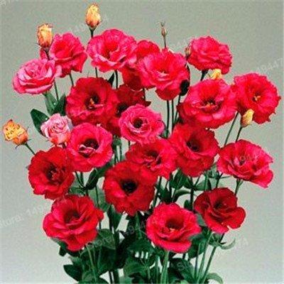 SwansGreen 200pcs Seltene Mischfarbe Eustoma Samen Staude Blütenpflanzen Lisianthus Samen Bonsai Blumensamen für Gelb Hausgarten
