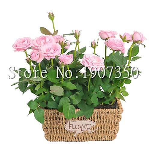 100 Pcs Bag Mini Rose Bonsai Miniature Rose Plant Diy Home Garden Bright And Beautiful Potted Flowers Plant Balcony Bonsai Plant 5 Buy Online In Aruba At Aruba Desertcart Com Productid 193217089