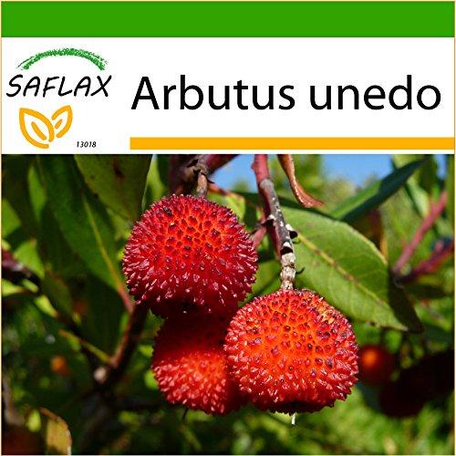 SAFLAX - Árbol de las fresas - 50 semillas - Con sustrato estéril para cultivo - Arbutus unedo