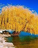 5 Semillas de sauce llorón amarillo del árbol de la flor gigante completa del paisaje garded Yard
