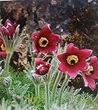 Portal Cool 400 Semillas: Las Flores combinadas Sucio Jardinero Gaillardia Aristata de Molinillo de Viento