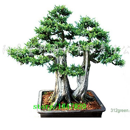 20 Wacholder Bonsai-Baum-Samen Topfblumen Büro Bonsai reinigen die Luft absorbieren schädliche Gase Cypress Samen