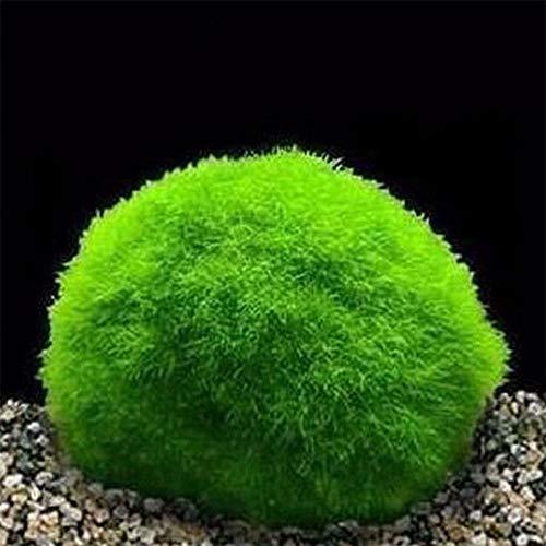 TOPmountain Bolas Marimo Moss - Plantas de Acuario en Vivo - Bajo Mantenimiento Planta Marimo Gigante de 4-5 cm. Bolas de Juego de Peces Decoración del Acuario